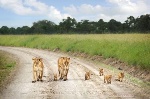 Lion Family Morning Walk