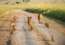 Lion-Family_6